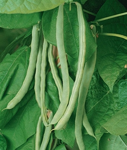 Garden Bean Kentucky Wonder Pole Seed Heirloom - 1 Packet