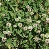 Ladino Clover Seed - 1/4 Lb.