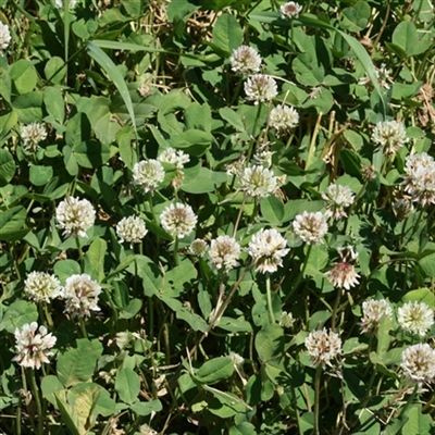 Ladino Clover Seed - 1 Lb.