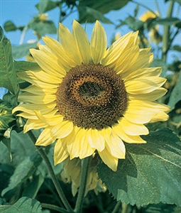 Sunflower Lemon Queen Seed - 1 Packet