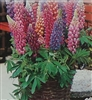 Lupines Minarette Dwarf Mixed Colors Seed - 1 Packet