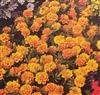 Marigold Sparky Mixed Colors Seed - 1 Packet