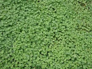 Micro Clover Seed - 1 Lb.
