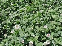 Patriot White Clover Seed - 50 Lbs.