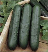 Cucumber Poinsett 76 Seed - 1 Packet