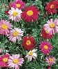 Pyrethrum Daisy Robinsons Mixture Seed - 1 Packet