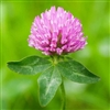 Medium Red Clover Seed - 5 Lbs.