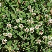Regal Ladino Clover Seed - 20 Lbs.