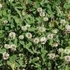 Regal Ladino Clover Seed - 5 Lbs.