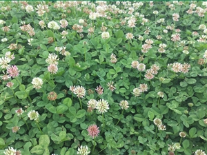 Renovation White Clover Seed - 5 Lbs.