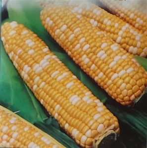 Sweet Corn Serendipity Triplesweet Seed - 1 Packet