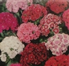 Sweet William Single Mixed Colors Seed - 1 Packet