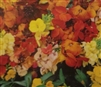 Wallflower Single Mixed Colors Seed - 1 Packet