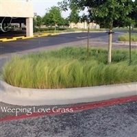 Weeping Lovegrass Seed - 10 Lbs.