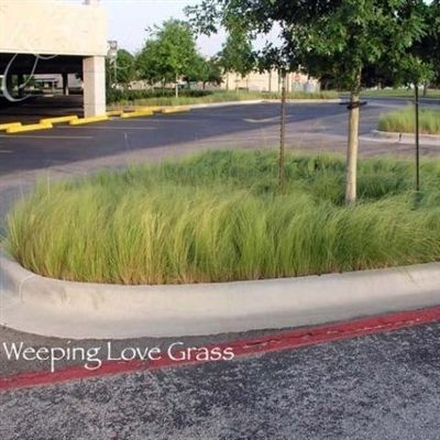 Weeping Lovegrass Seed - 50 Lbs.
