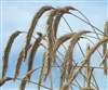 Wrens Abruzzi Winter Rye Grain Seed - 10 Lbs.