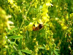Yellow Sweet Blossom Clover - 5 Lbs.