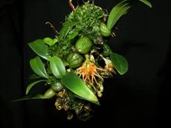 Bulbophyllum  sutepense (BS)