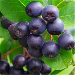 Acai Berry Extract - Water Based