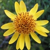 Arnica Montana Flower Extract - Water Based