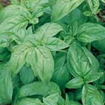 Basil (Sweet) Essential Oil <br> 0.5 oz