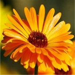 Calendula Flower Extract - Water Based