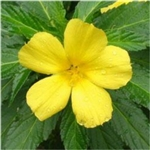 Damiana Extract - Water Based