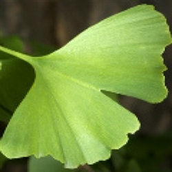Ginkgo Biloba Extract - Water Based