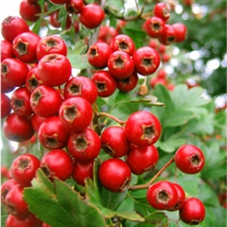 Hawthorn Berry Extract - Water Based