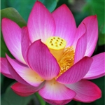 Lotus Extract - Water Based