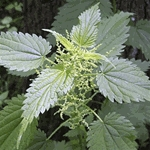 Nettle Extract - Water Based