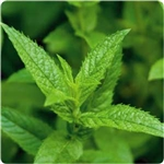 Peppermint Leaf Extract - Water Based