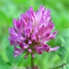 Red Clover Extract - Water Based