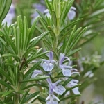 Rosemary Extract - Water Based