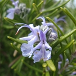 Rosemary Flavor / Aroma - Oil Based