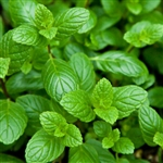 Spearmint Leaf Extract - Water Based