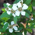 Tea Tree - Lemon Essential Oil