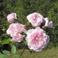 """Cato's Cluster"" roses"