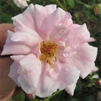 Natchitoches Noisette roses