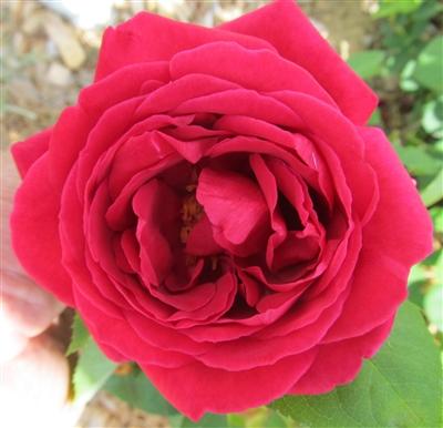 foto de Deep Red Rhode Island Red rose plant
