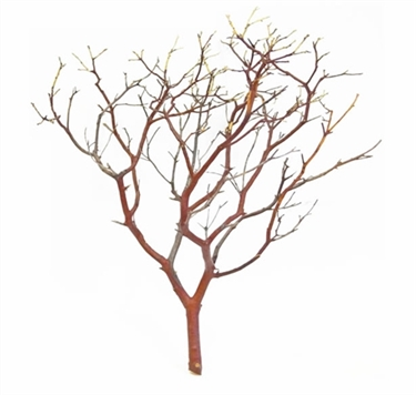 Natural Red Manzanita branches, 14 in. tall  (case/25, shipping included)