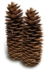 Sugar Pine Pinecone, Medium