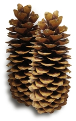 Sugar Pine Pinecone, Small