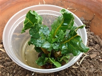 Beet Greens Growing