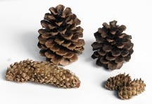 Large Pine Cone-1