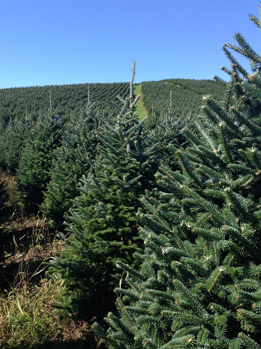 Buy 7ft Christmas Tree