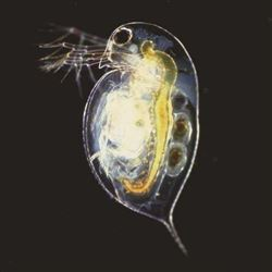 Daphnia (Water Flea)