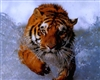 Large Tiger #1 RV/Wall Decal