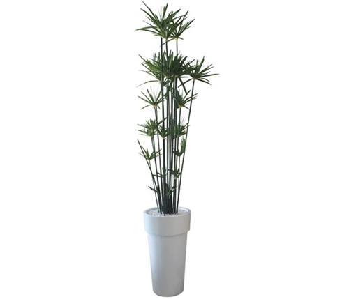 Papyrus Tree Arrangement with White Modern Planter - Medium
