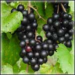 Muscadine Vines for Prepper Garden